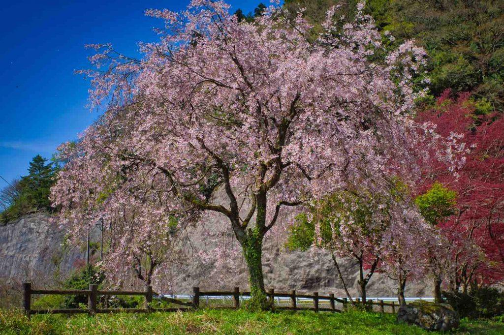 龍ヶ鼻ダムの桜